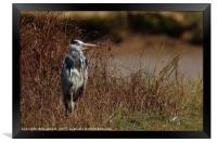 Grey Heron 4, Framed Print
