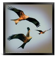 Triple Red Kite, Framed Print