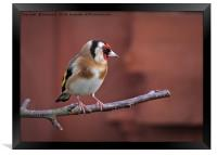 Goldfinch 19, Framed Print