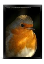 Portrait Of A Robin, Framed Print
