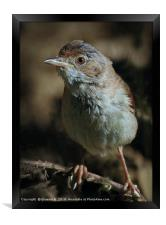 Whitethroat , Framed Print