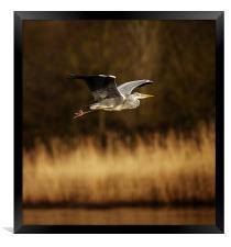 Heron in flight, Framed Print