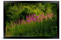 Rosebay Willowherb, Framed Print