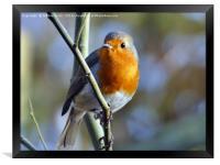 British Robin, Framed Print