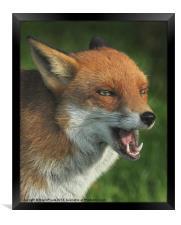 Laughing Fox, Framed Print