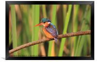 Malichite Kingfisher, Framed Print