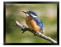 Young Kingfisher, Framed Print