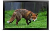 Cunning Fox, Framed Print