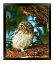 Little Owl at nest., Framed Print
