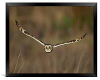 Short Eared Owl in flight, Framed Print