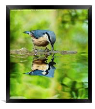Nuthatch reflections, Framed Print