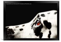 The Amber Eye. Kokkie. Dalmation Dog, Framed Print