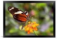 Butterfly on a flower, Framed Print
