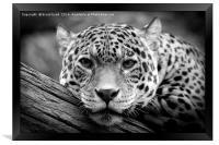 Jaguar Stare Black & White, Framed Print