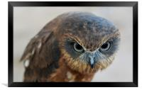 African Boobook Owl, Framed Print