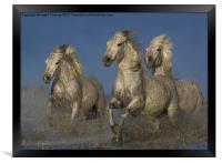 Galloping Camargue Horses, Framed Print