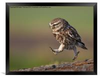 Little Owl late for work