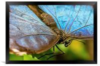 Blue Morphos Butterfly Closeup, Framed Print