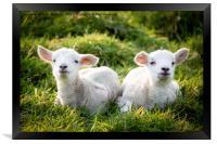 Spring Lambs, Framed Print