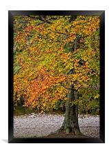 Autumn Beech Tree, Framed Print