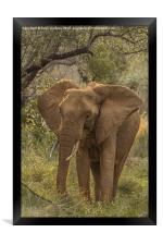 African Elephant, Framed Print