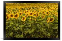Sunflowers in Boussac, Framed Print