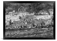 Hartmann's mountain zebra, Framed Print