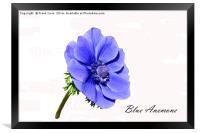 Beautiful blue Anemone, Framed Print