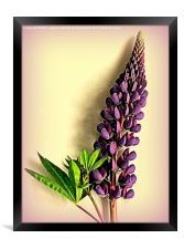 Painted Purple Lupin, Framed Print