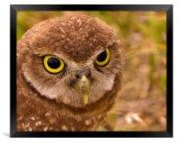 Burrowing Owl Portrait, Framed Print