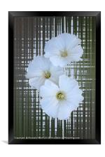 three white flowers, Framed Print