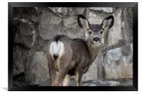 Young Mule Deer, Framed Print