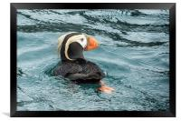 Tufted Puffin, Framed Print