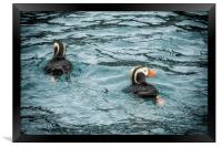 Tufted Puffin Pair, Framed Print