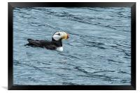 Horned Puffin, No. 1, Framed Print