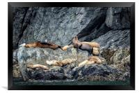 Group of Female Sea Lions and Young, Framed Print