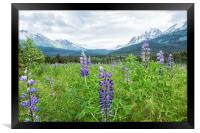 Lupin and the Beauty of Alaska, Framed Print