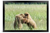 Brown Bear Cubs - Wrestling Match, Framed Print