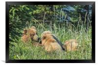 Triplet Bear Cubs Nursing, No. 1, Framed Print