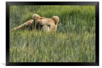 Being Watched by a Big Brown Bear, Framed Print
