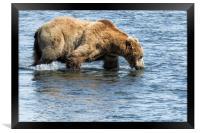 Brown Bear Going for a Dip, Framed Print