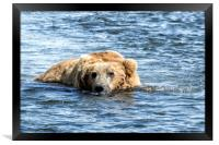 Brown Bear Cooling Off, Framed Print