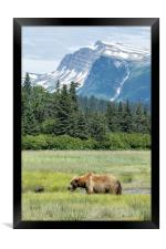 Male Brown Bear at Lake Clark NP, Framed Print