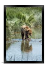 Brown Bear Cub Crossing a Stream, Framed Print