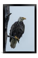 Drenched Eagle, Framed Print