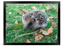 Young Hedgehog, Framed Print
