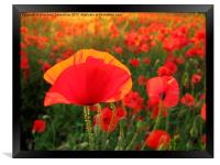 Bright Red Poppy in the Sun, Framed Print