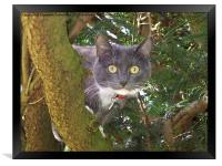 Stare Cat in a Yew Tree, Framed Print
