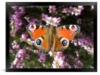 Peacock Butterfly on Heather, Framed Print