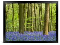 Bluebell Woodland in Hertfordshire, Framed Print